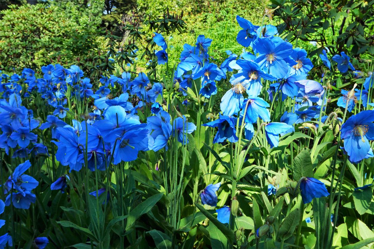 Pavot bleu de l'Himalaya Meconopsis betonicifolia