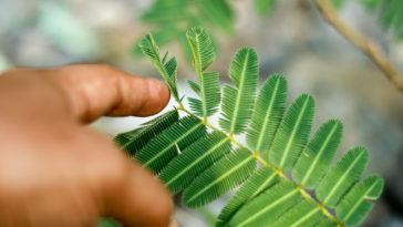 plantes communiquent communication sensitive mimosa pudica