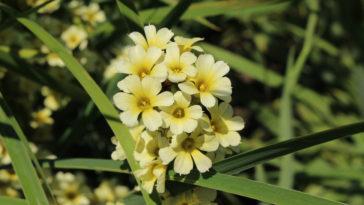 fleurs La bermudienne jauneSisyrinchium striatum