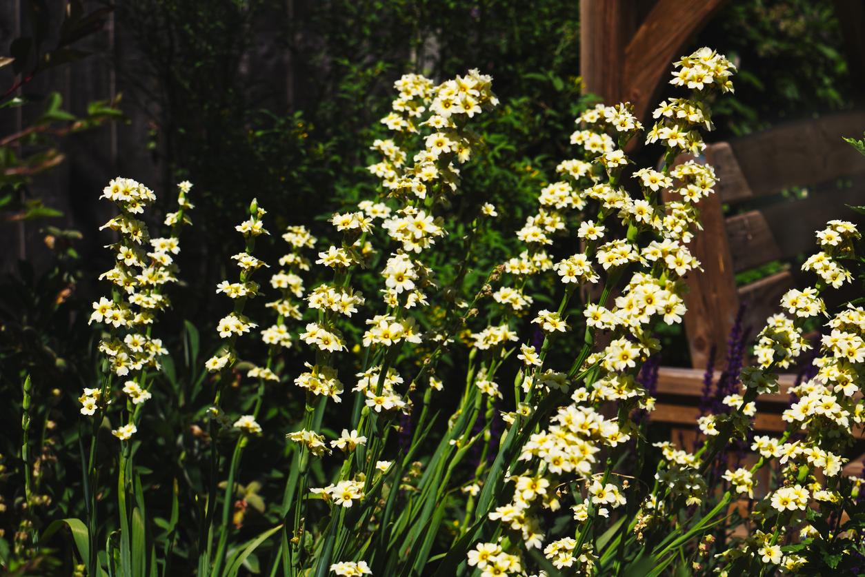 La bermudienne jaune :Sisyrinchium striatum