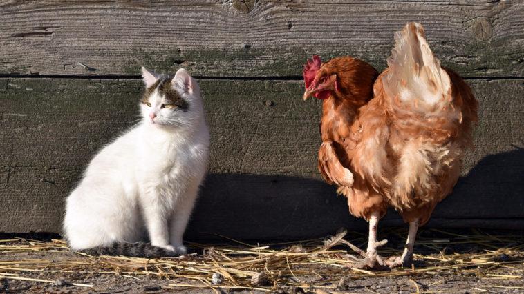 poules chat