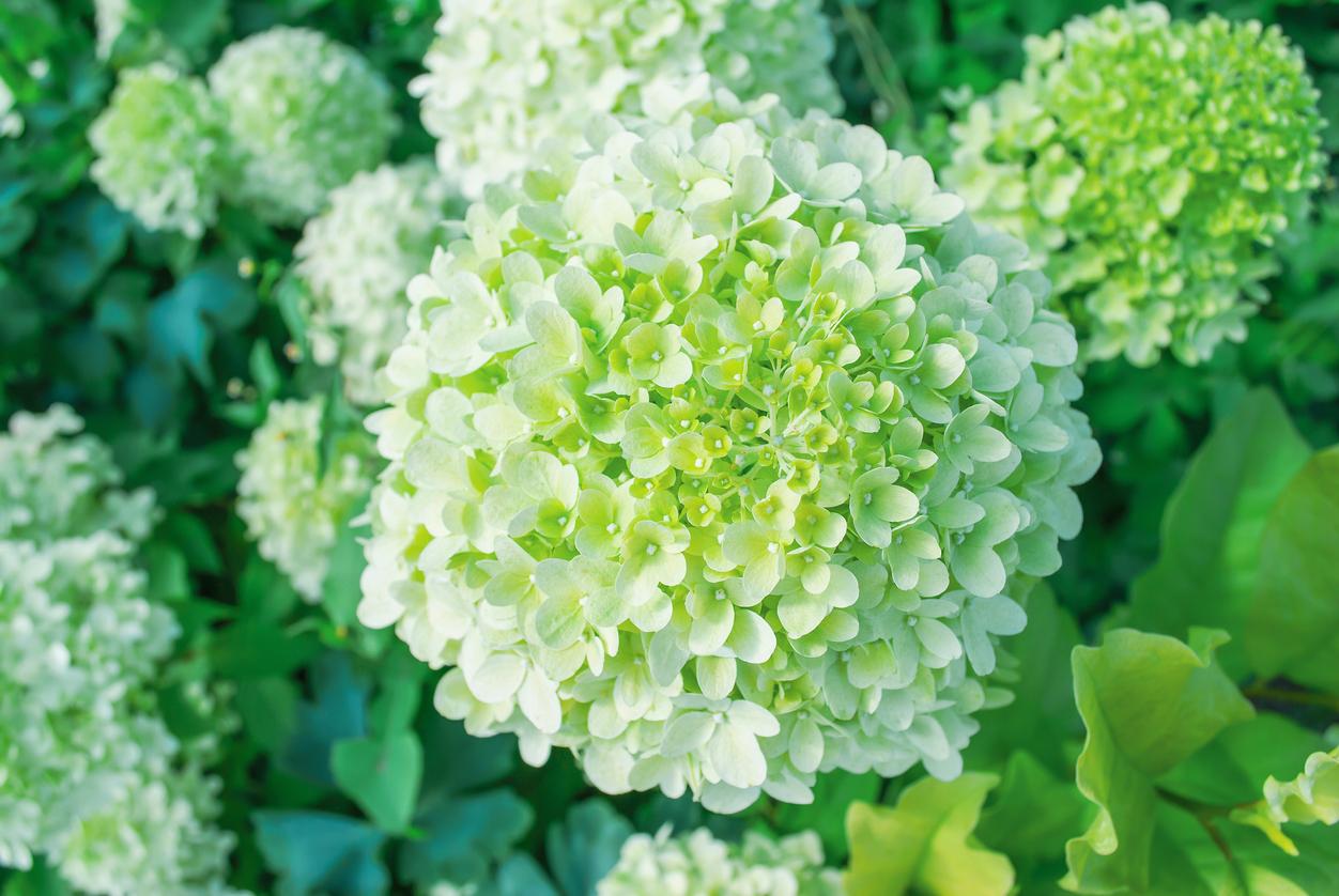 hortensia limelight