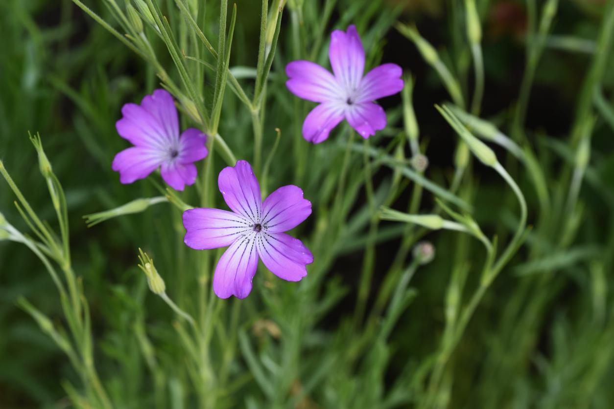 nielle des blés Agrostemma githago