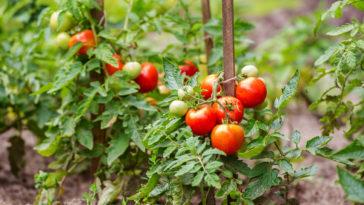purin de tomates