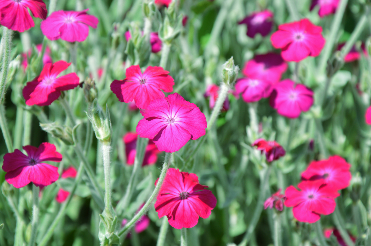 fleurs coquelourde Lychnis coronaria