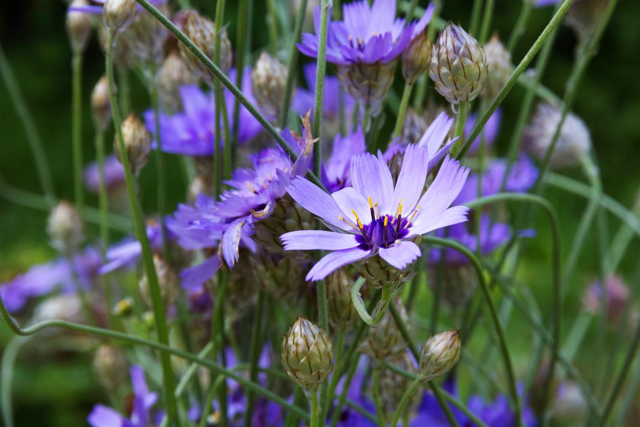 Catananche caerulea cupidone fleurs