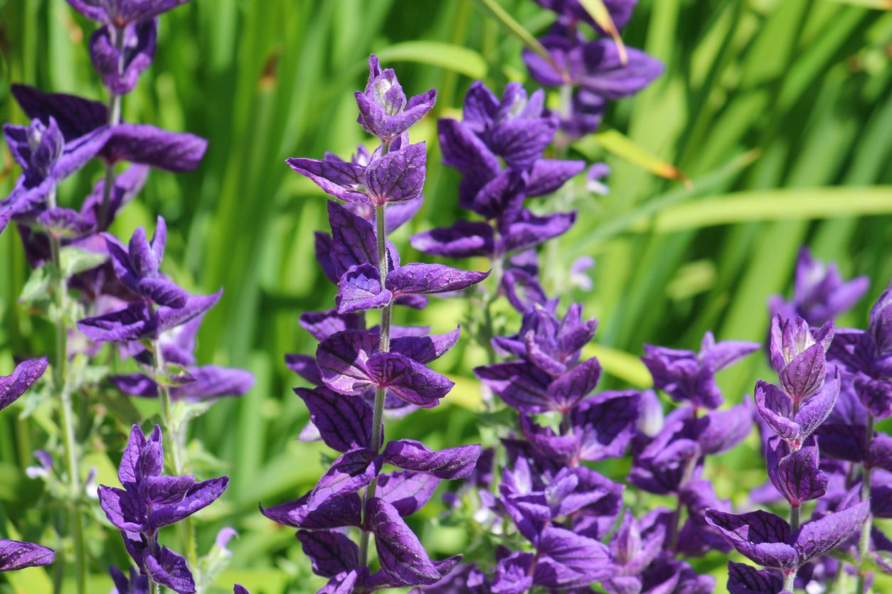 sauce hormine sauge hermine Salvia horminum