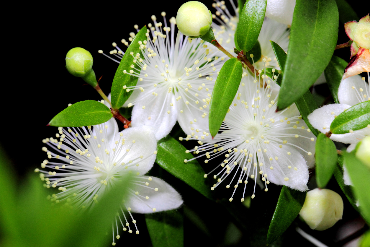 Myrtus communis myrte