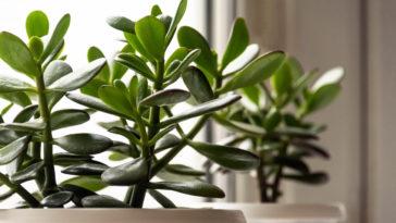 Crassula jade plantes soleil